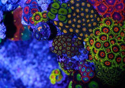 Zoa Garden Reef