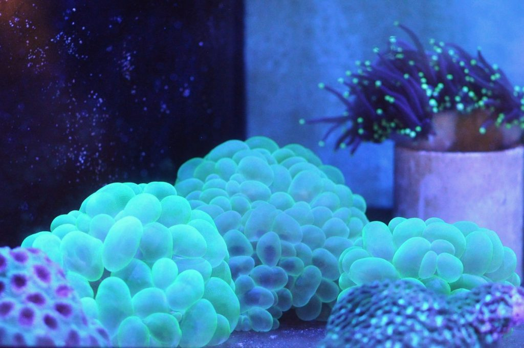 Bubble Corals Care Coral Of The Week Reef Tank Advice