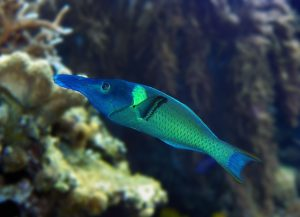Green Bird Wrasse for Sale in AZ