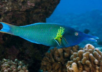 Green Bird Wrasse for Reef Tank