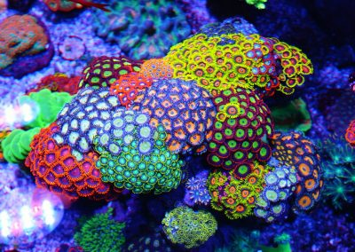 Live Corals for Sale in AZ