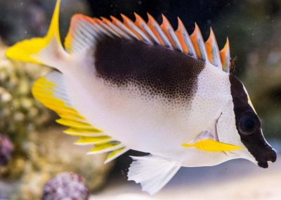 Magnificent Foxface for the reef tank aquarium