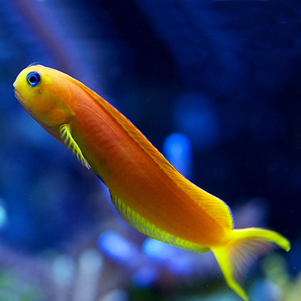 The Midas Blenny is an excellent candidate for reef tanks 30 gallons and up.