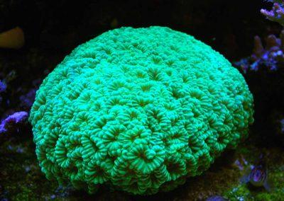 Trumpet corals