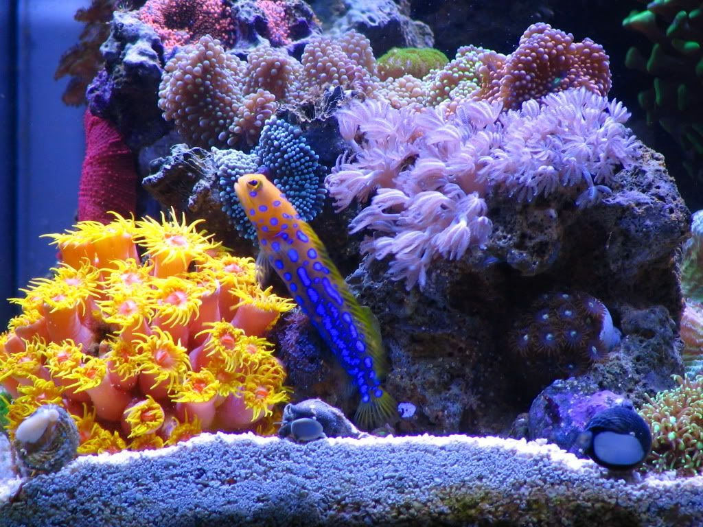 Bluespotted Jawfish Care Information