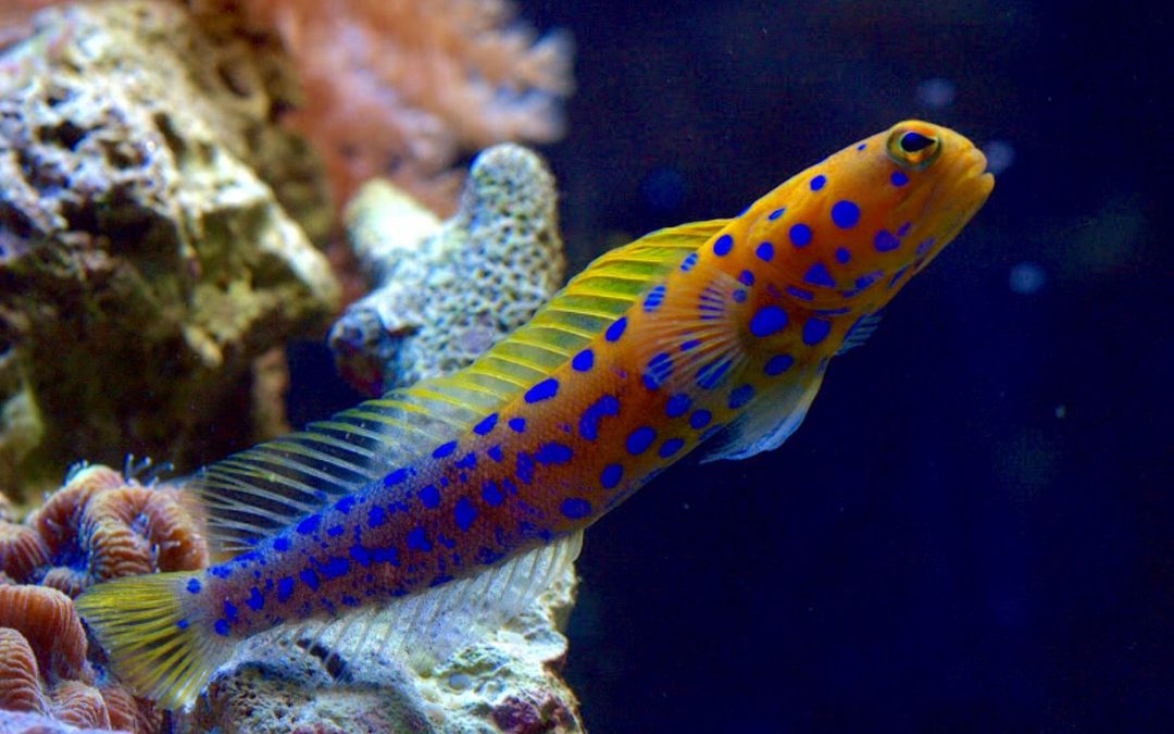 Bluespotted Jawfish Care in Reef Tank