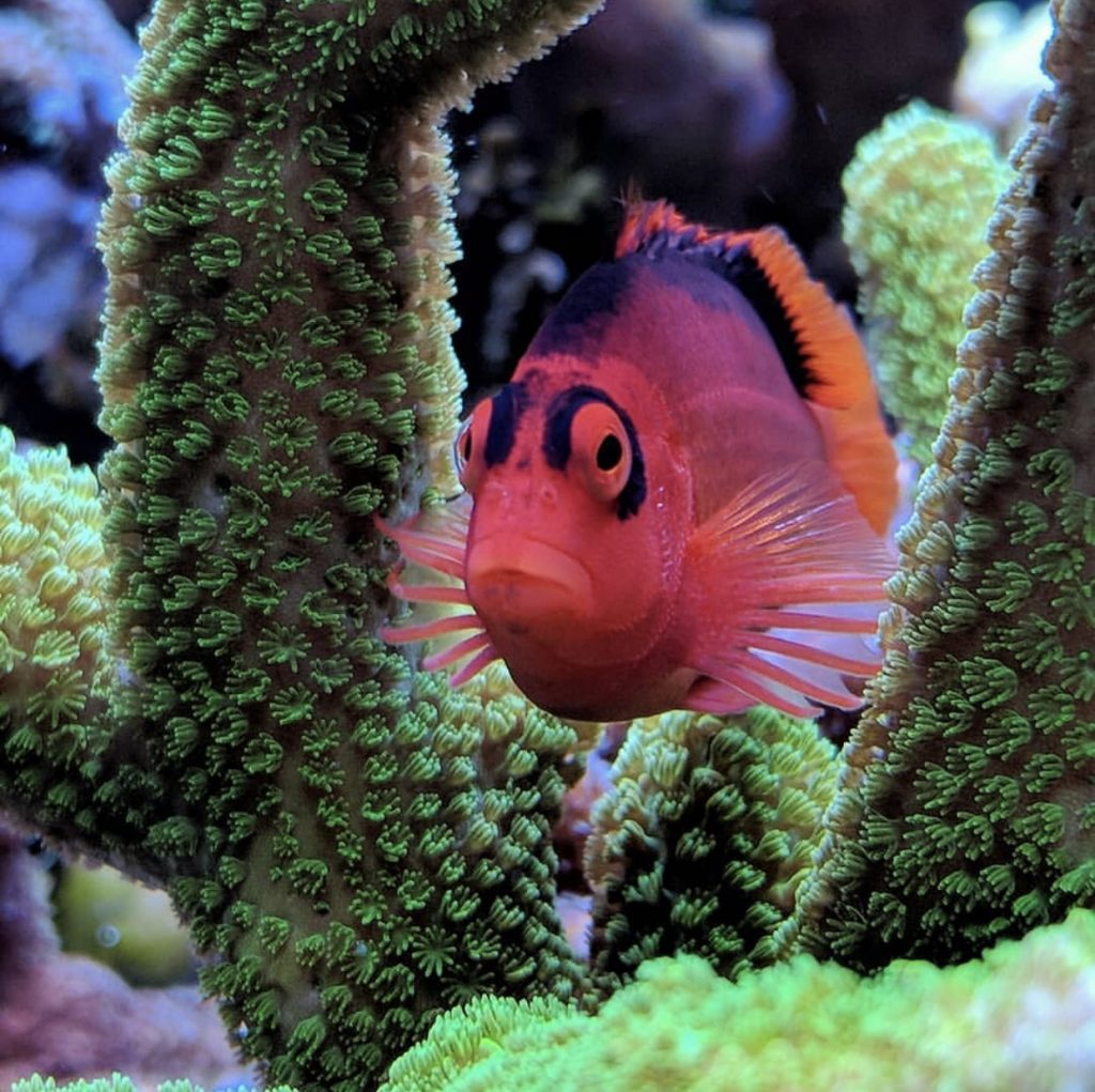 How to care for the flame hawkfish in your reef tank aquarium.