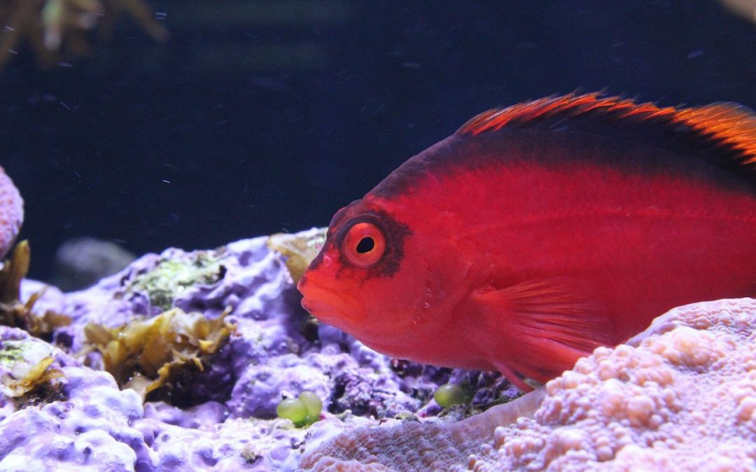 Flame Hawkfish Care and Information
