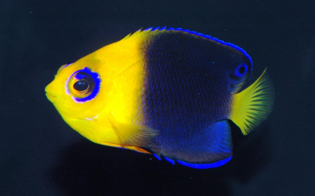 Pygmy Angelfish (Cherub)
