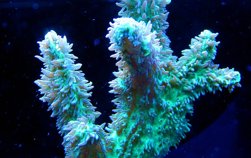 Hydnophora Horn Coral Care
