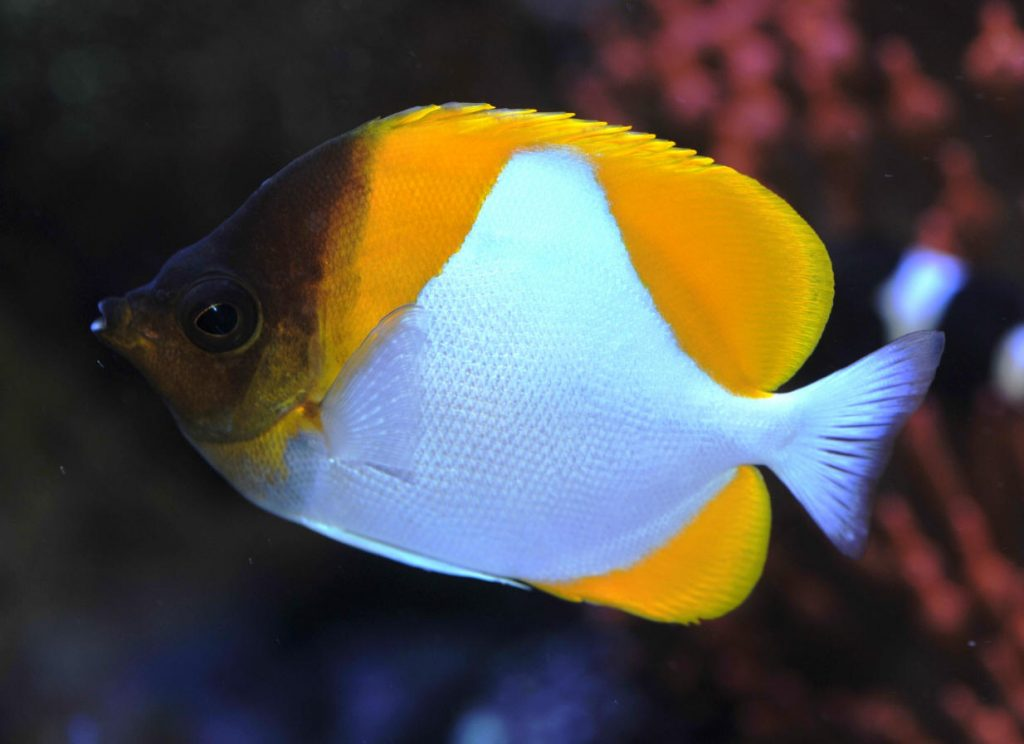 How to care for the Yellow Pyramid Butterflyfish