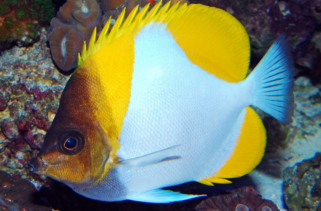 Care for the Yellow Pyramid Butterflyfish