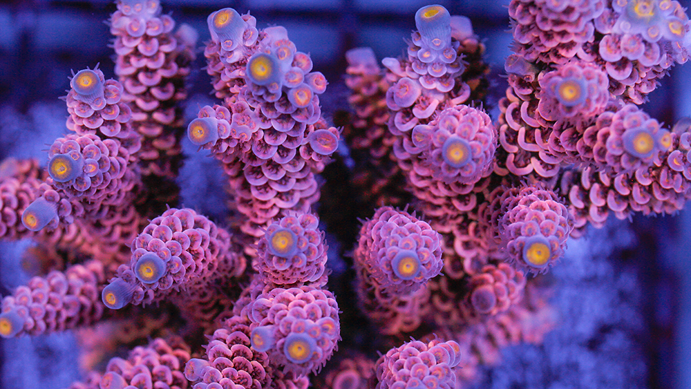 Acropora Corals Care in Reef Tank