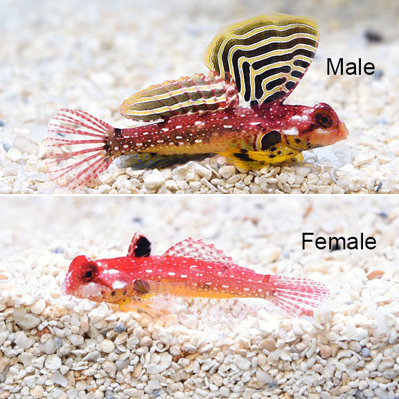 Male and Female Ruby Red Dragonets