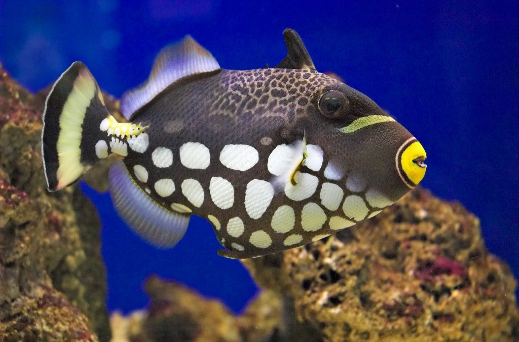 Clown Triggerfish Care