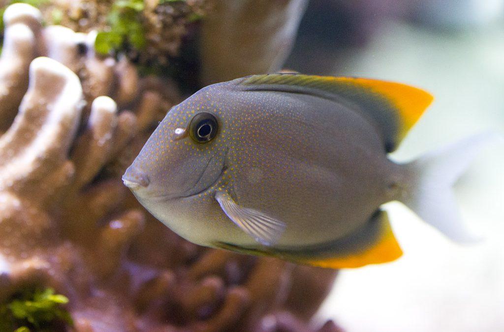 Tomini Tang Fish Care
