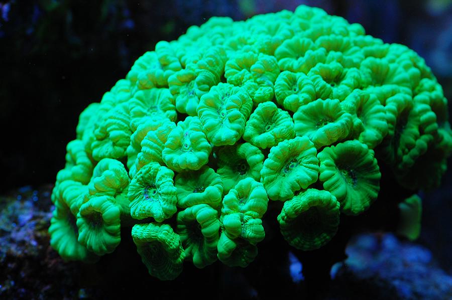 Bullseye Coral