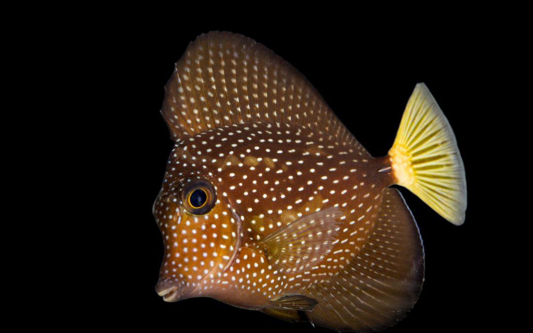 Gemmatum Tang Fish Care