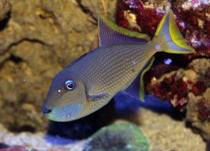 Blue Throat Triggerfish for Sale in AZ