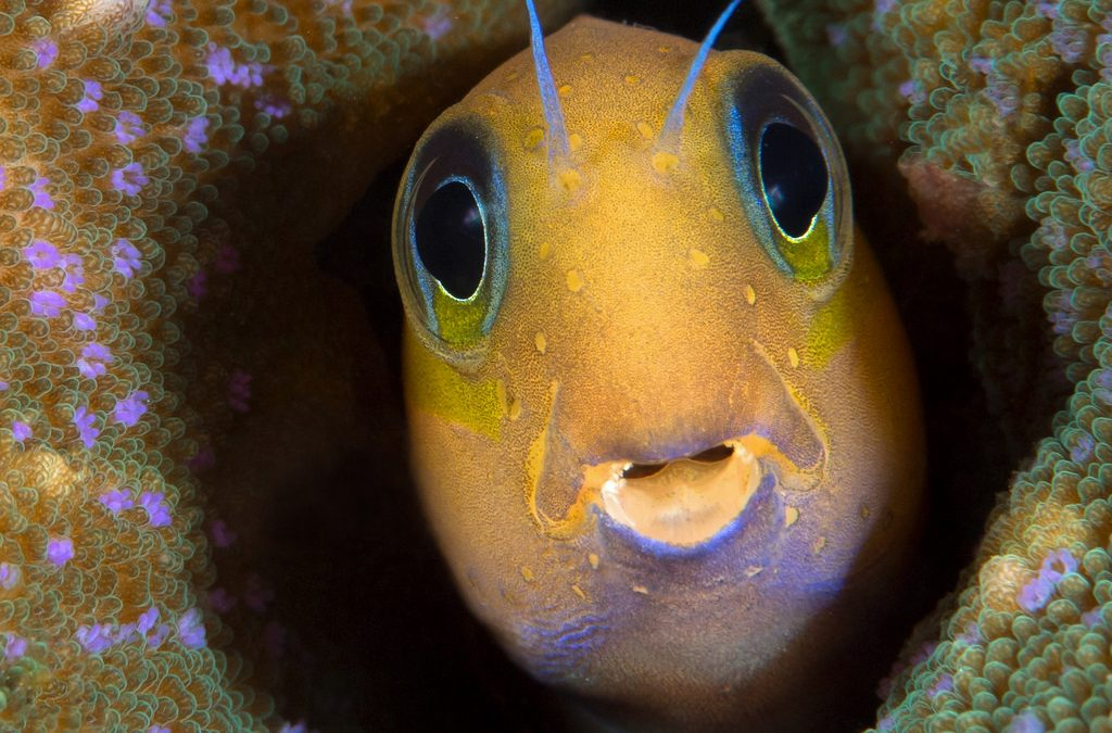 Midas Blenny Care & Facts