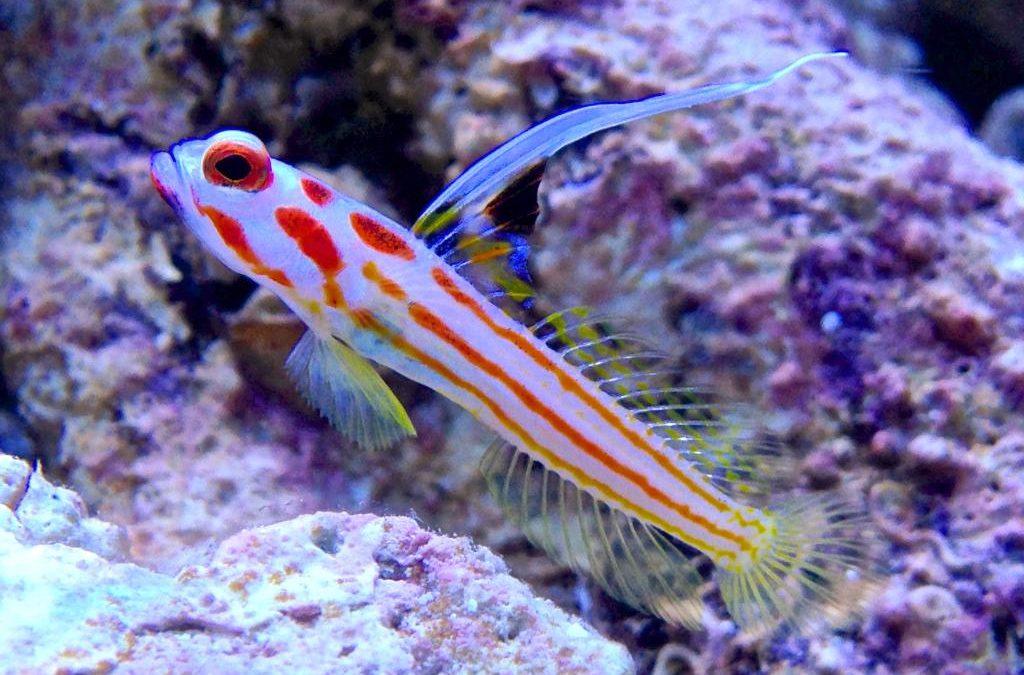 Yasha White Ray Shrimp Goby