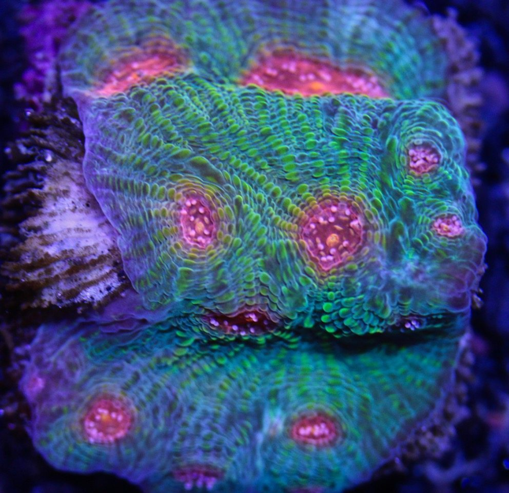 Chalice Coral Care for Reef Tank Aquariums