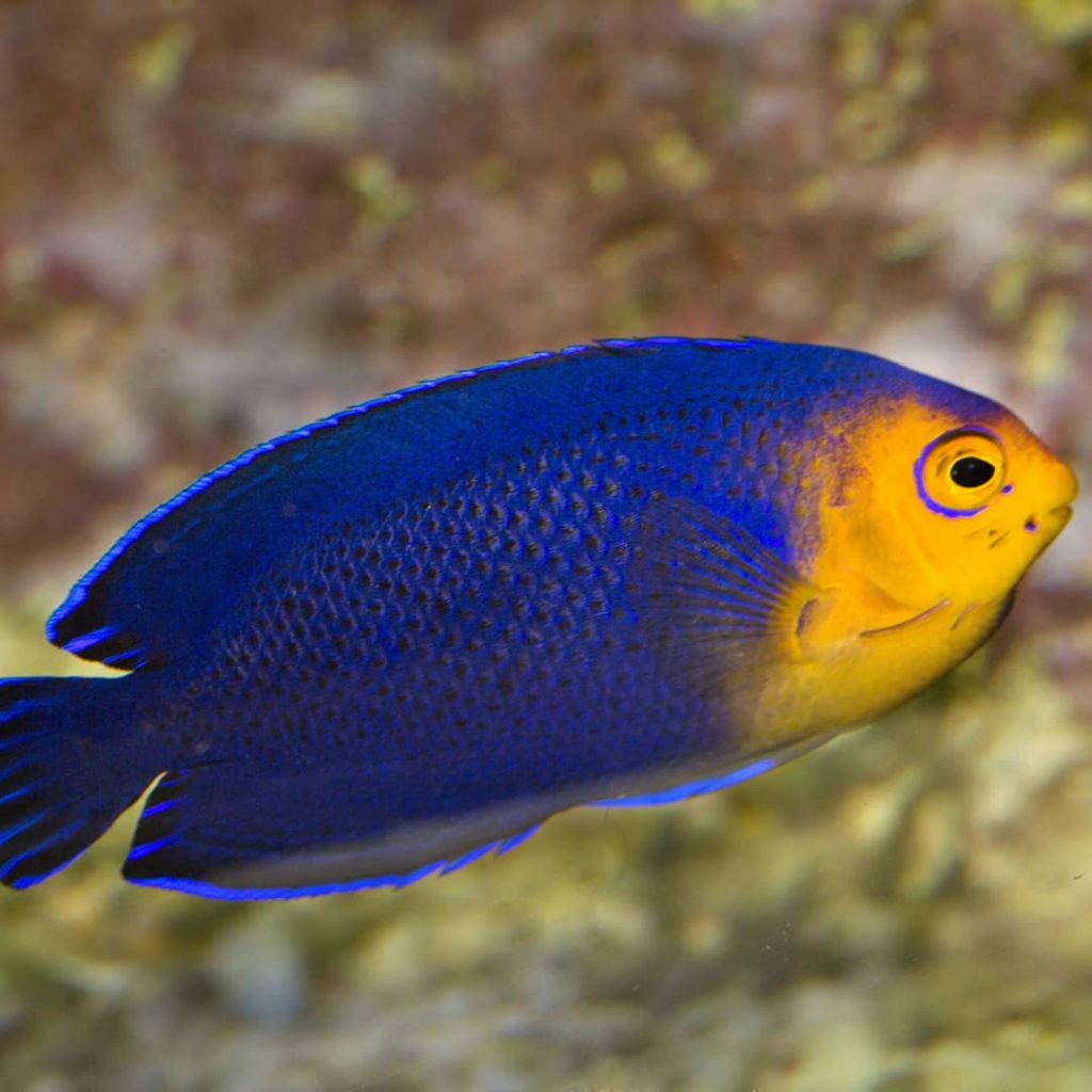 Pygmy Angelfish for Sale