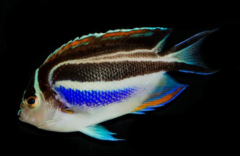 Bellus Angelfish