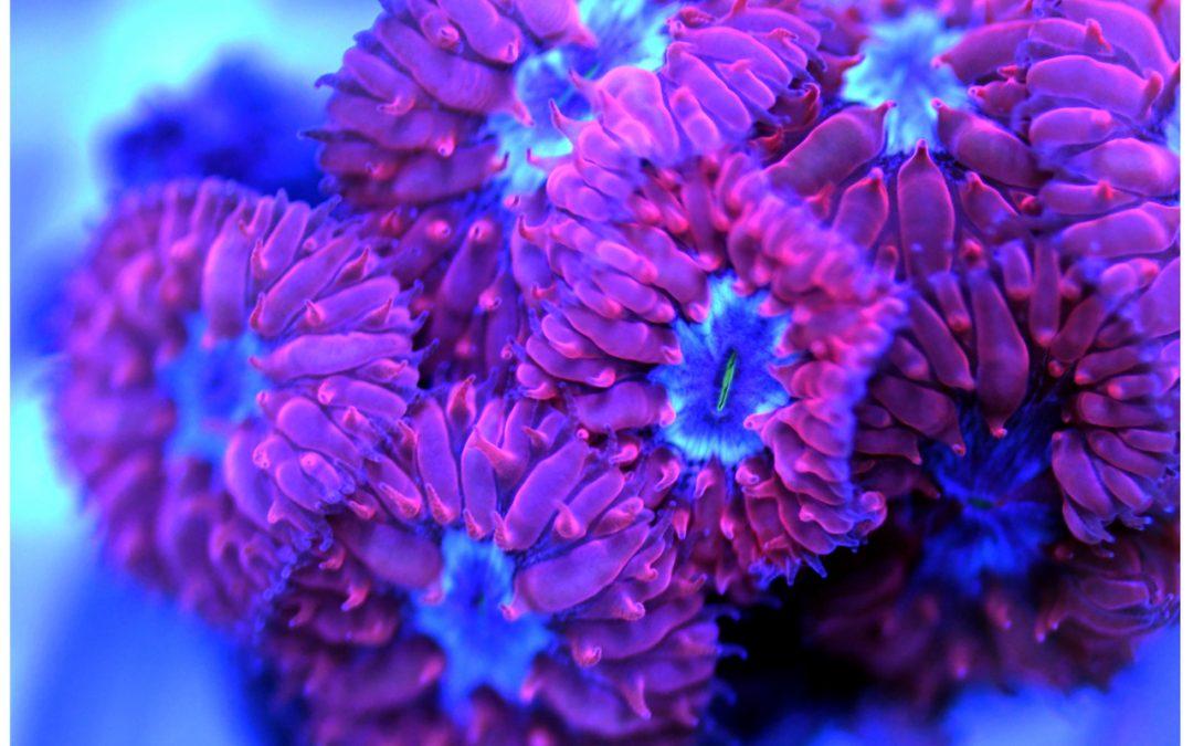 Blasto Coral in Phoenix AZ