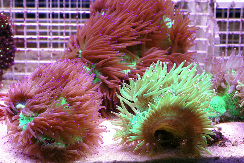 Where to buy Elegance coral near me