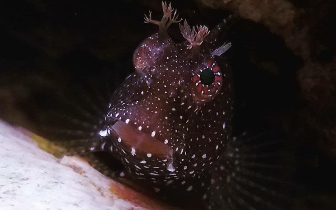 Starry Blenny Fish Care