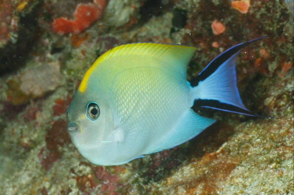 Care Guide for the Swallowtail Angelfish.