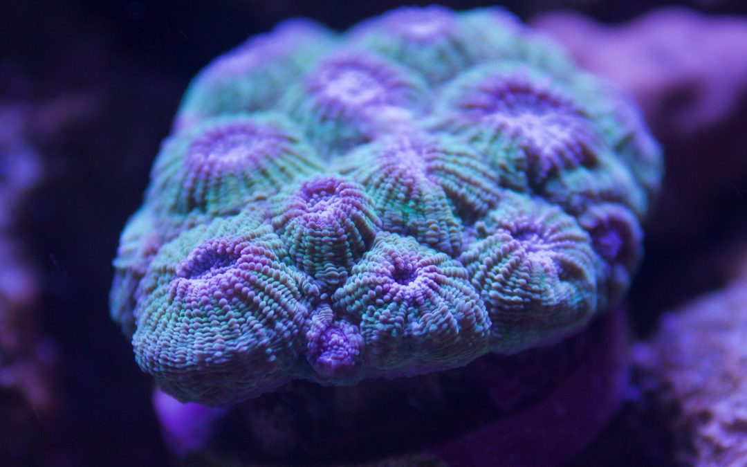 Hexagon Brain Coral