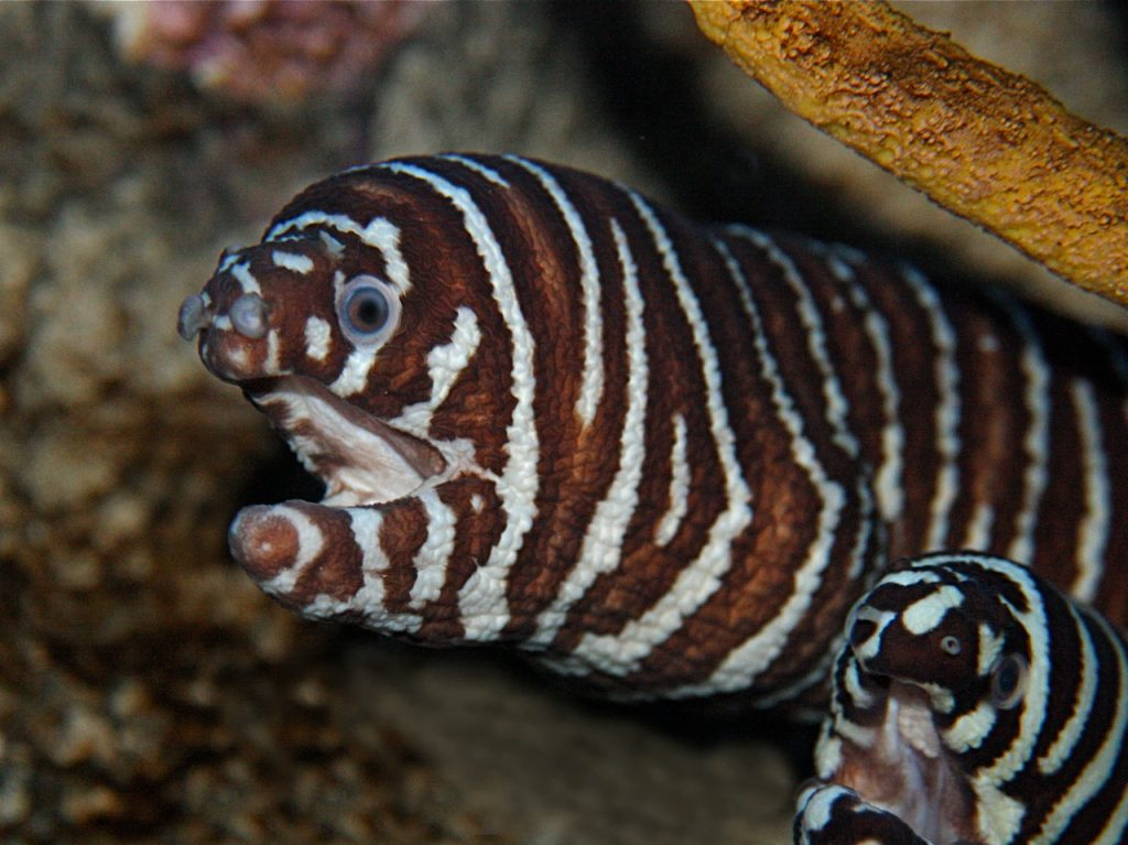 Find out where to buy a Zebra Moray Eel near me.