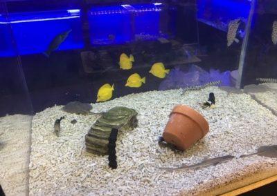 Yellow Tangs in Stock