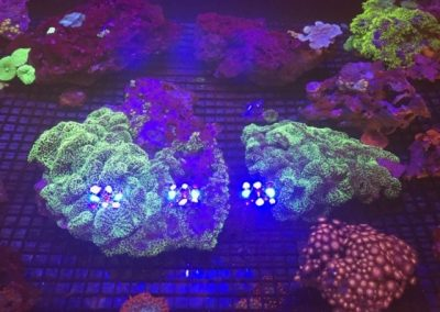 Zoanthid and GSP Corals in Stock